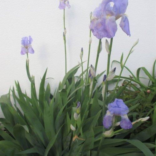 Unsere wunderschönen, violetten Lilien