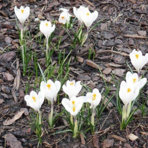 Krokus im Garten - endlich Frühling!